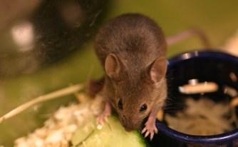 עכברים בבקתה? הפיצוי: 300 שקלים